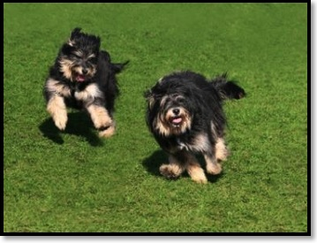2_Dogs_Running_in_Grass-382x288